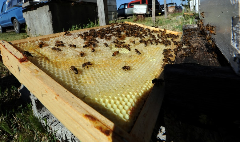 MOUNTAIN HOME, Idaho – Honey bees fill combs with pollen to make honey outside of a hive here June 23. Due to colony collapse disorder, the unexplained disappearance of honey bees, the preservation of honey bee colonies is imperative. Despite Colony Collapse Disorder, swarms of bees are common on Mountain Home Air Force Base during the summer months and the Gunfighter pest control team is currently implementing unique solutions to the recurring honey bee problem. (U.S. Air Force photo by Senior Airman Debbie Lockhart)
