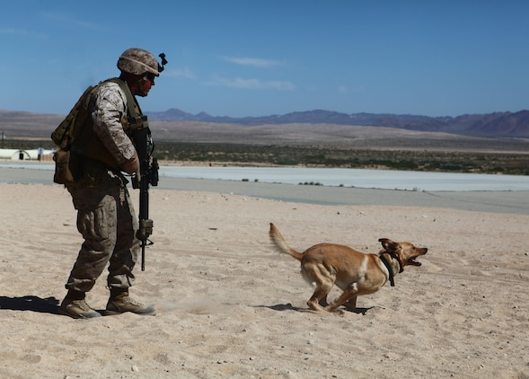 A dog handler with 1st Battalion, 6th Marine Regiment, 2nd Marine Division, conducts improvised explosive device training at Marine Corps Base 29 Palms, Calif., May 22, 2011. The dog handlers participated in Enhanced Mojave Viper, a large-scale predeployment training exercise, in order to hone their skills prior to the unit's upcoming deployment, when teams will be used to seek out improvised explosive devices and bomb-making materials.