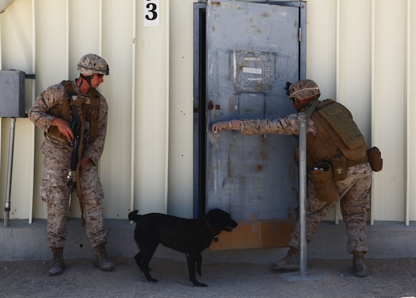 Dog handlers with 1st Battalion, 6th Marine Regiment, 2nd Marine Division, run an improvised explosive device detection course at Marine Corps Base 29 Palms, Calif., May 22, 2011. The dog handlers with 1/6 participated in Enhanced Mojave Viper, a large-scale predeployment training exercise.