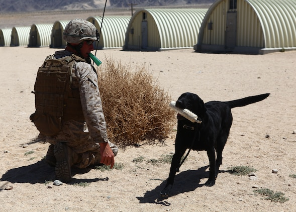 Lance Cpl. Miles Bishop, a dog handler with 1st Battalion, 6th Marine Regiment, 2nd Marine Division, calls over Lexi, a black labrador, during an improvised explosive device detection course at Marine Corps Base 29 Palms, Calif., May 22, 2011. The dog handlers participated in Enhanced Mojave Viper, a large-scale predeployment training exercise, in order to hone their skills prior to the unit's upcoming deployment, when the teams will be used to seek out IEDs and bomb-making materials.