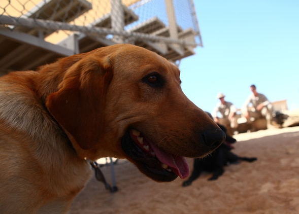 A bomb-detecting dog with 1st Battalion, 6th Marine Regiment, 2nd Marine Division, rests after running an improvised explosive device detection course with her handler at Marine Corps Base 29 Palms, Calif., May 22, 2011. The dog handlers participated in Enhanced Mojave Viper, a large-scale predeployment training exercise, in order to hone their skills prior to the unit's upcoming deployment, when the teams will be used to seek out IEDs and bomb-making materials.