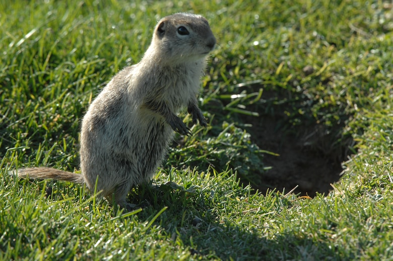 "MOUNTAIN HOME AIR FORCE BASE, Idaho – A Piute ground squirrel, commonly referred to as a ""whistle pig,"" scans the horizon, on the fairways of the Silver Sage Golf Course for possible predators here May 24. MHAFB creates an oasis for these ground squirrels due to an abundance of food and few natural predators. (U.S. Air Force photo by Airman Shane M. Phipps)"