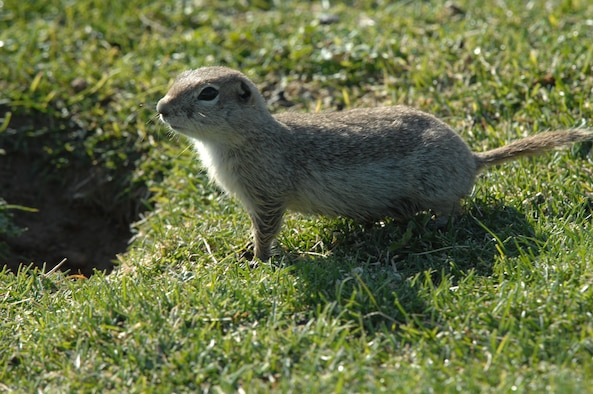 """MOUNTAIN HOME AIR FORCE BASE, Idaho – A Piute ground squirrel, commonly referred to as a """"whistle pig,"""" takes a break from grazing on the lush grass encompassing the fairways of the Silver Sage Golf Course here May 24. Whistle pigs have called the golf course home for decades, peppering the fairways with numerous burrows. (U.S. Air Force photo by Airman Shane M. Phipps)"""