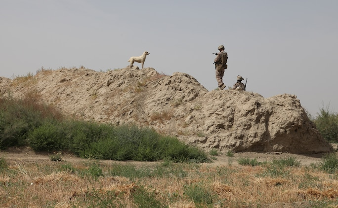 Willy Pete joins Marines from Company D, 2nd Light Armored Reconnaissance Battalion, 2nd Marine Division (Forward), as they patrol near the village.  Willy joins the Marines during day and night patrols, keeping wild dogs at bay.
