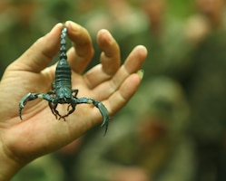 An Indonesian Marine demonstrates how to neutralize scorpions and use them to survive during jungle survival training May 28. The Marines and Sailors with Landing Force Company, primarily compromised from 2nd Battalion, 23rd Marine Regiment, are participating in Cooperation Afloat Readiness and Training (CARAT) 2011 through June. CARAT is an annual bilateral exercise held between the U.S. and Southeast Asian nations with the goals of enhancing regional cooperation, promoting mutual trust and understanding and increasing operational readiness throughout the participating nations.  While in Indonesia, the service members from both nations trained in martial arts, military operations in urban terrain, jungle survival, combat marksmanship, sniper techniques and combat lifesaving skills.