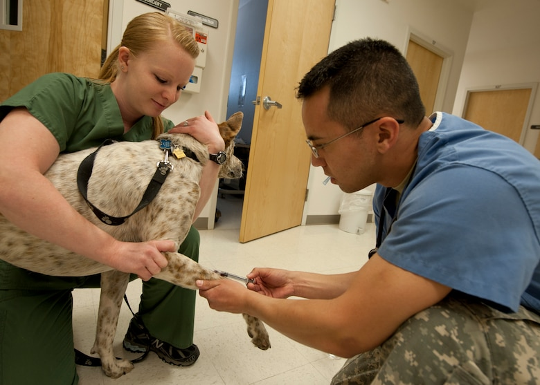 HOLLOMAN AIR FORCE BASE, N.M. - Katie Middlebrook, a veterinary technician at the Holloman Veterinary Clinic, holds 3-year-old Coffee as U.S. Army Capt. Matthew Carnett, a veterinarian with the HVC, takes blood April 24. The blood sample ensures that Coffee is healthy and has no unwanted parasites. The Holloman Veterinary Clinic provides care to the pets of active duty and retired military, along with the German Air Force personnel on Holloman AFB. (U.S. Air Force photo by Airman Leah Ferrante/Released)