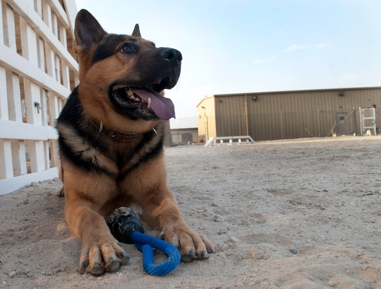SOUTHWEST ASIA – Erdo, 386th Expeditionary Security Forces Squadron, military working dog, rests after running through the obstacle course three times here July 20. (U.S. Air Force photo/Staff Sgt. Alexandra M. Boutte)