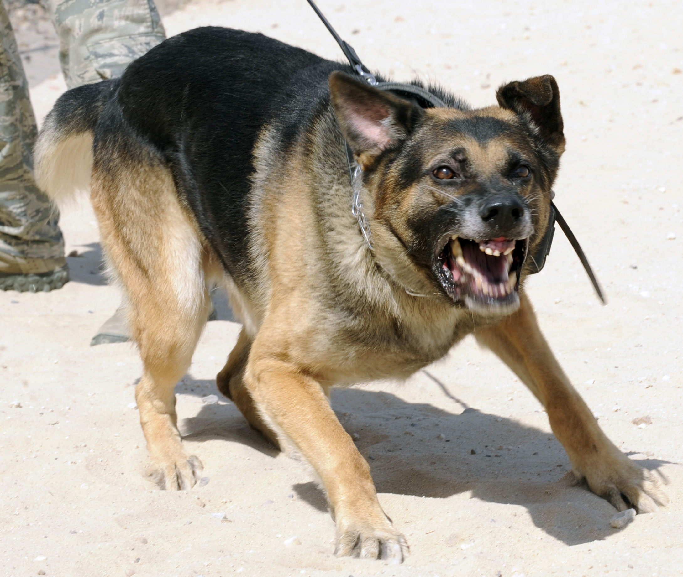 Attacking German Shepherd | www.pixshark.com - Images ...