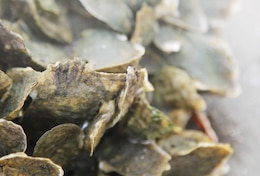 Close up of a cluster of oysters that will grow on the castle wall and help erosion problems.