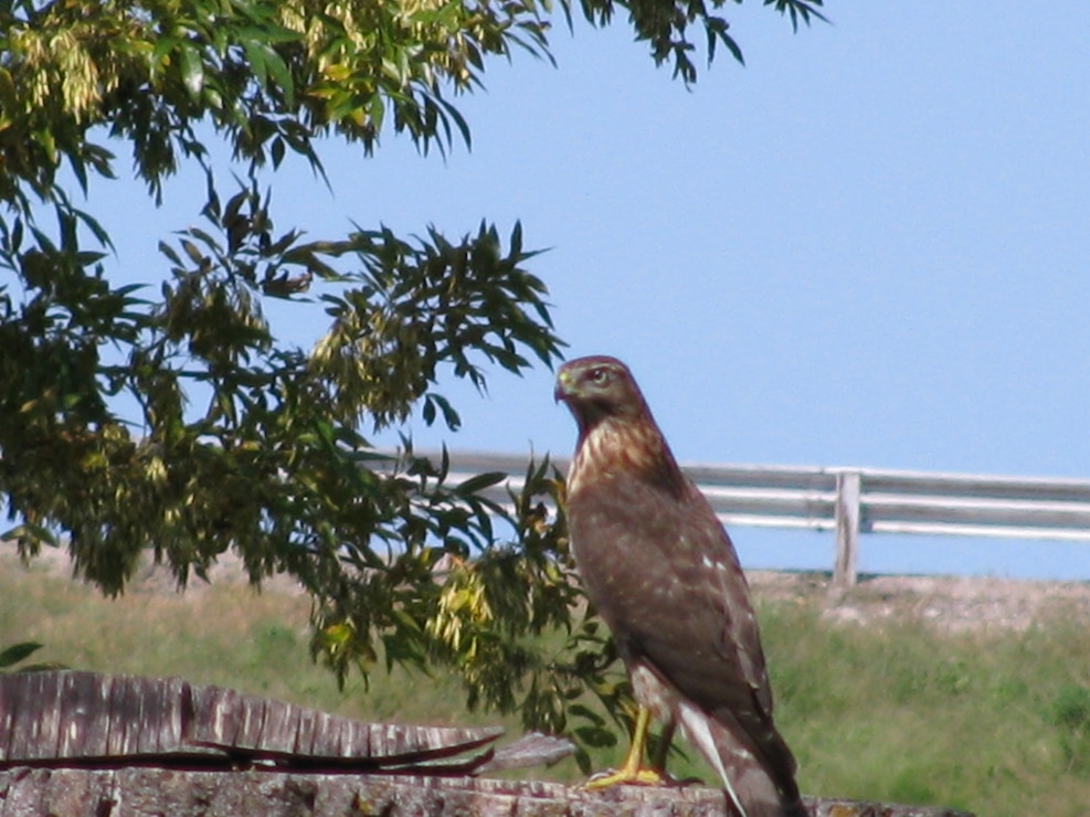 COOPER HAWK AFTER BUSH BIRDS