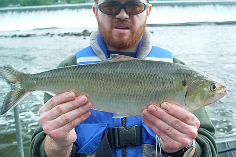 Joe Perillo of the Philadelphia Water Department displays an American Shad. More than 3000 of the migratory fish species passed through the Fairmount Dam Fish Ladder in 2011