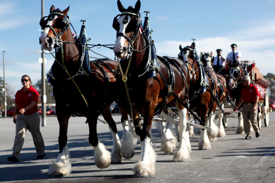 Budweiser's infamous Clydesdale horses walk around the parking lot of the Marine Corps Base Camp Lejeune Marine Corps Exchange as families watch and take pictures Dec. 8. The well-known horses drew a large crowd of people who were going to the MCX, and when the horses stopped, people swarmed to them to take pictures up close.