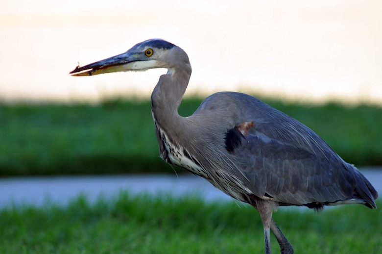After catching and eating a rat near the parade field at March Air Reserve Base, Calif., the Great Blue Heron allows itself time to digest its prey. This protected species of migratory bird is spotted in various locations on base throughout the day and does its best to help control the rodent population here.  (U.S. Air Force photo by Linda Welz)