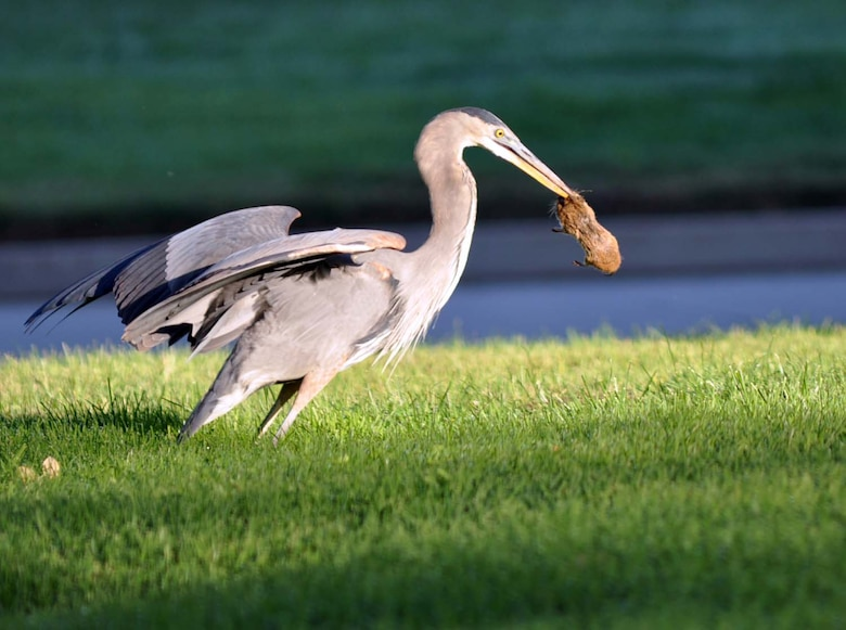 The Great Blue Heron picks up a rat it caught at March Air Reserve Base, Calif., before swallowing it. This protected species of migratory bird is spotted in various locations on base throughout the day and does its best to help control the rodent population here.   (U.S. Air Force photo by Linda Welz)
