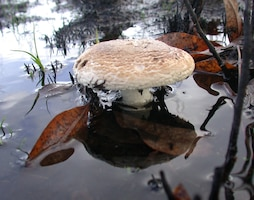 U.S. Army Corps of Engineers botanists discovered a new site for the rare Pruitt's Amanita mushroom at Fern Ridge Reservoir west of Eugene, Ore., Nov. 20, 2012.