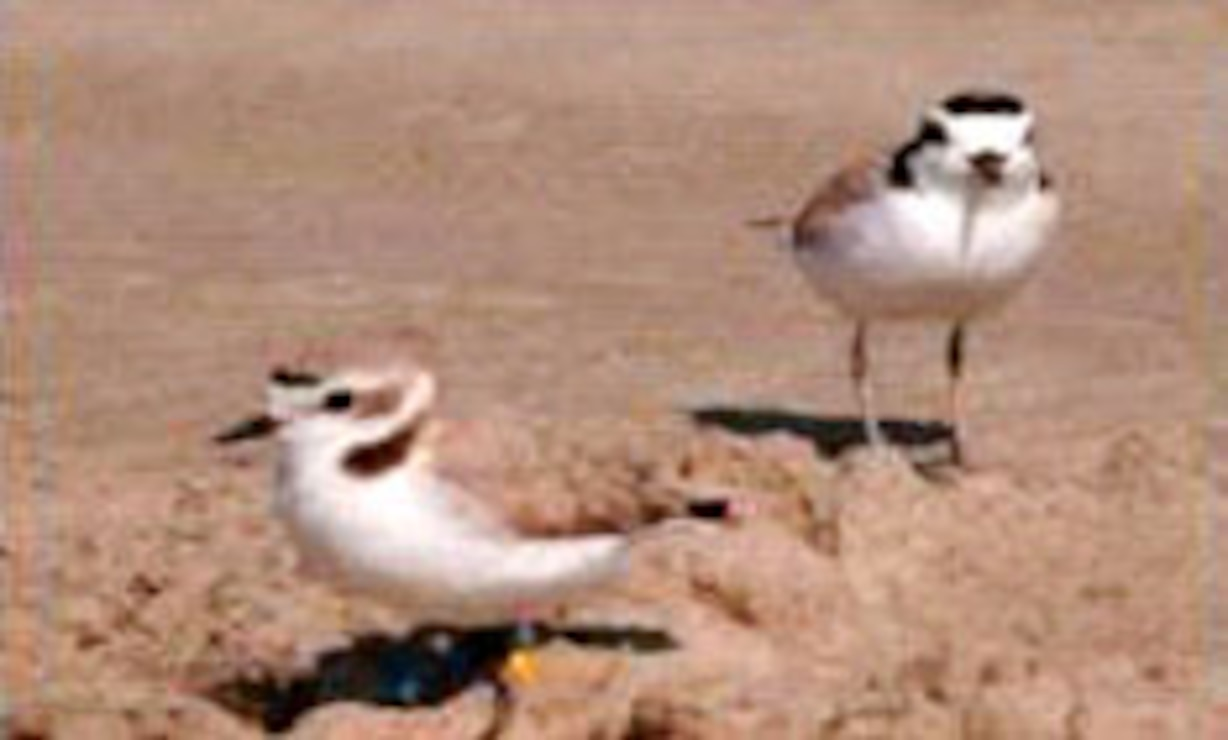 Florida Gulf Coast Snowy Plovers, right, will benefit from ERDC-EL's bird population modeling project where the team crafted environmental recommendations for military installations.