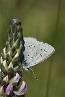 This species of butterfly, found only in the Willamette Valley, was believed to be extinct from 1937 until it was rediscovered in 1989.  The species was listed as endangered in 2000.