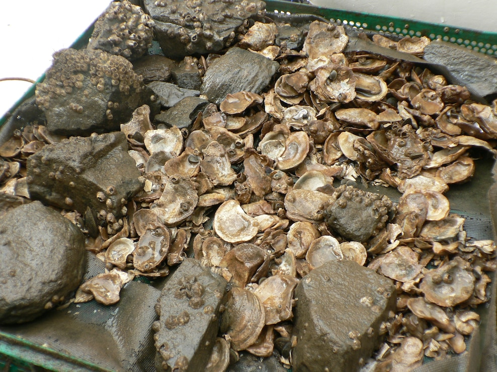 Oyster shells used for oyster restoration.