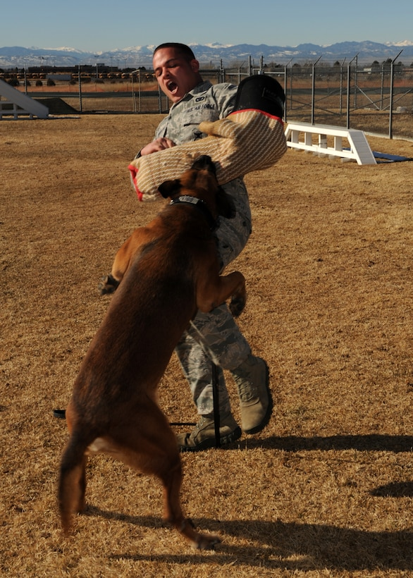 BUCKLEY AIR FORCE BASE, Colo. --Senior Airman Joshua Carabajal, 460th Security Forces military working dog handler, braces himself as Buddy attacks Jan 10, 2012. The K-9 unit at Buckley assists in check points, drug and bomb detection, exercise and emergency situations. (U.S. Air Force photo by Senior Airman Marcy Glass)