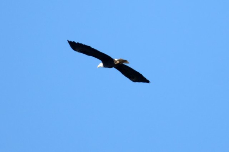 DALE HOLLOW LAKE — An American Bald Eagle flying high over Dale Hollow Lake Jan. 28, 2012 during an Eagle Watch Tour.