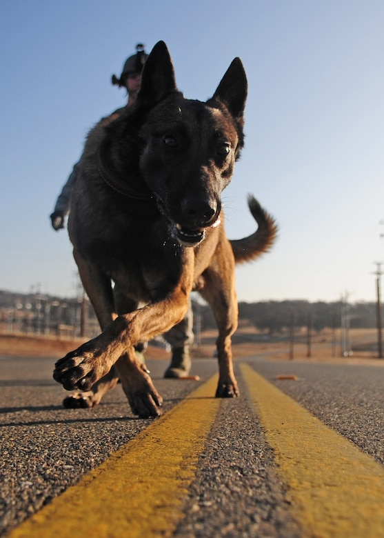 Zack, one of the 9th Security Forces Squadron's newest military working dogs, walks the center line of an abandoned road on Beale AFB during a ruck march Jan. 9, 2012. Each member of the military working dog flight marches at least once a week while keeping up with other training requirements as well as care and maintenance of the animals and kennels. (U.S Air Force photo by Senior Airman Shawn Nickel/Released)