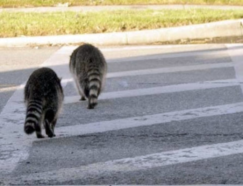 """A pair of resident racoons safely cross Dekay Ave. near Baucom Ave. using the crosswalk. Drivers are reminded that all """"pedestrians"""" have the right of way on March.  U.S. Air Force photo by Linda Welz"""