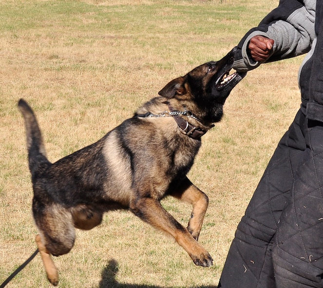 Frigo, a military working dog with the 9th Security Forces Squadron, holds on to a suspect during a  training scenario at Beale Air Force Base, Calif., June 12, 2012. MWDs are utilized throughout the Department of Defense for detection and patrol. (Courtesy photo by Noelle Hoffman)