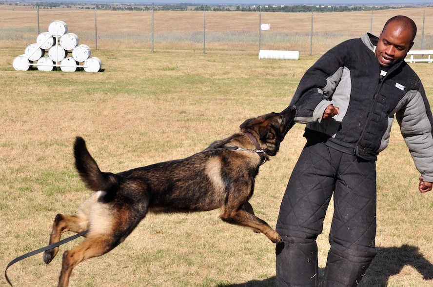 Staff Sgt. Kenneth Houston, 9th Security Forces Squadron military working dog handler, receives a bite from Frigo, during a training session at Beale Air Force Base, Calif., June 12, 2012. Houston is wearing a suit designed to protect him from dog bites. (Courtesy photo by Noelle Hoffman)