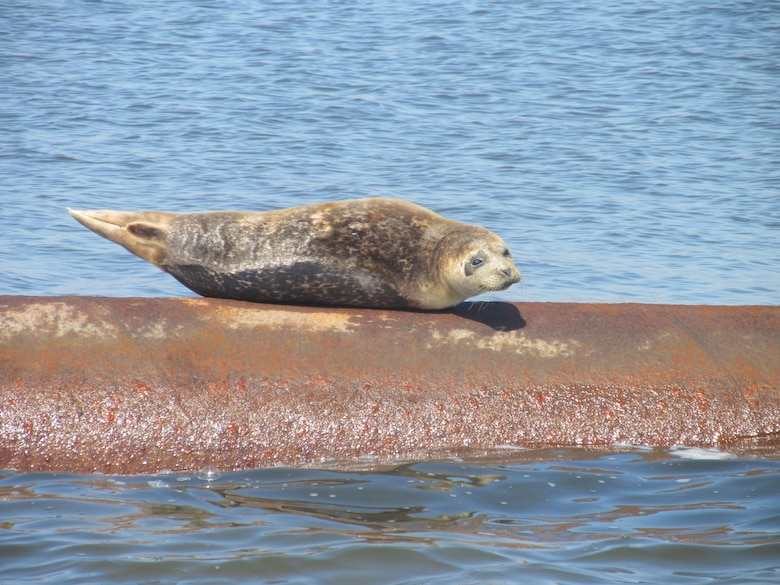 NEW YORK — The 'resident' Harbor Seal who has been lying on the dredge pipeline that is delivering the sand and sunning himself as the U.S. Army Corps of Engineers New York District performs its work.