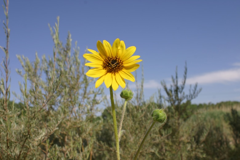 Sunflowers are native to New Mexico and are springing up in swales all over the Rio Grande's Bosque.