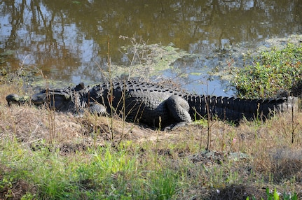 Charlie the alligator enjoys a warm Spring afternoon as he suns himself at Joint Base Charleston - Weapons Station March 15. Charlie is a 600-pound, 12-foot alligator that has been a resident on the Weapons Station since the 1960s. (U.S. Navy photo/Petty Officer 1st Class Jennifer Hudson)
