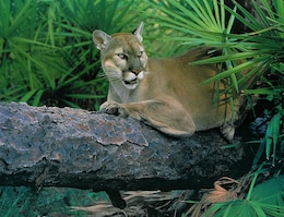 "JACKSONVILLE, Fla — The U.S. Army Corps of Engineers prepared all the necessary documents to facilitate the May 16, 2012, easement exchange that will allow for the creation of the proposed ""panther corridor,"" which will enable panthers to disperse from habitats restricted to south Florida."
