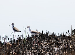 A couple of black-necked stilts at Nemours Plantation.