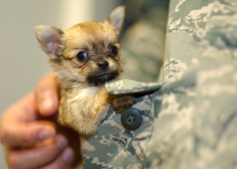 Fuzzy, an 8-week-old chihuahua puppy gets some love and attention from an Airman stationed at Hurlburt Field, Fla., Oct. 31, 2012. (U.S. Air Force photo/ Tech. Sgt. Vanessa Valentine)