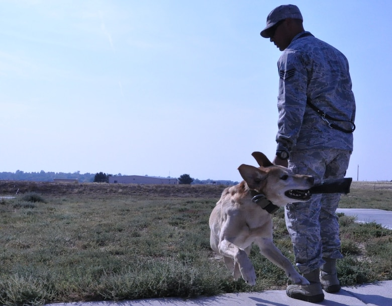 BUCKLEY AIR FORCE BASE, Colo. – Pier, a 460th Security Forces Squadron military working dog, snatches a training toy from his handler, Staff Sgt. Marque Daniels, 460th SFS military working dog handler, while they play fetch Sept. 19, 2012, at the base kennels. Pier, with the assistance of Daniels, spent a month and a half in rehabilitation following a fall off a balcony. Daniels and Pier were searching the University of Colorado Anschutz Medical Campus when Pier leaped over a 4-foot high wall and dropped approximately 20 feet. Pier suffered a sprained neck but has since recovered and returned to work. (U.S. Air Force photo by Staff Sgt. Kali L. Gradishar)