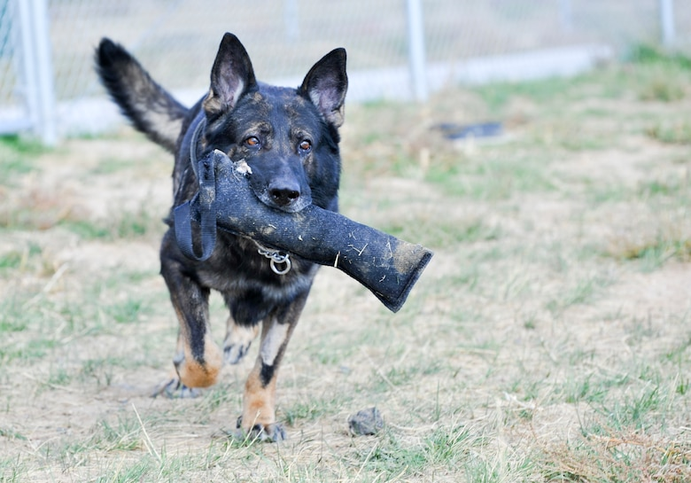 BUCKLEY AIR FORCE BASE, Colo. – Nero, a retired 460th Security Forces Squadron military working dog, runs with his chew toy Oct. 3, 2012. Nero served six years in the Air Force, and is currently up for adoption. During his years of service and combat experience, Nero developed elbow dysplasia, a condition that has caused swelling and pain. His future owners will receive 90 days of medication for the condition. (Air Force photo by Senior Airman Christopher Gross)