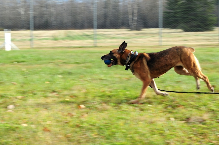 Azza, an 8-year-old Belgian Malinois military working dog, fetches a ball Oct. 4, 2012, Eielson Air Force Base, Alaska. Azza is assigned to the 354th Security Forces Squadron and recently returned from a deployment to Afghanistan. (U.S. Air Force photo/Airman 1st Class Zachary Perras)