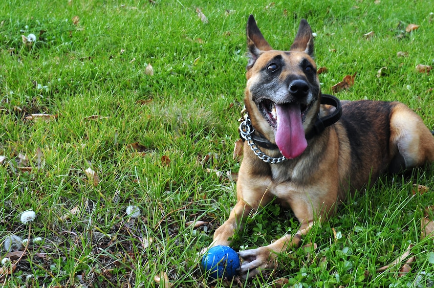 Azza, a military working dog assigned to the 354th Security Forces Squadron, rests after fetching a ball Oct. 4, 2012, Eielson Air Force Base, Alaska. Azza is an 8-year-old Belgian Malinois and recently returned from a deployment to Afghanistan. (U.S. Air Force photo/Airman 1st Class Zachary Perras)