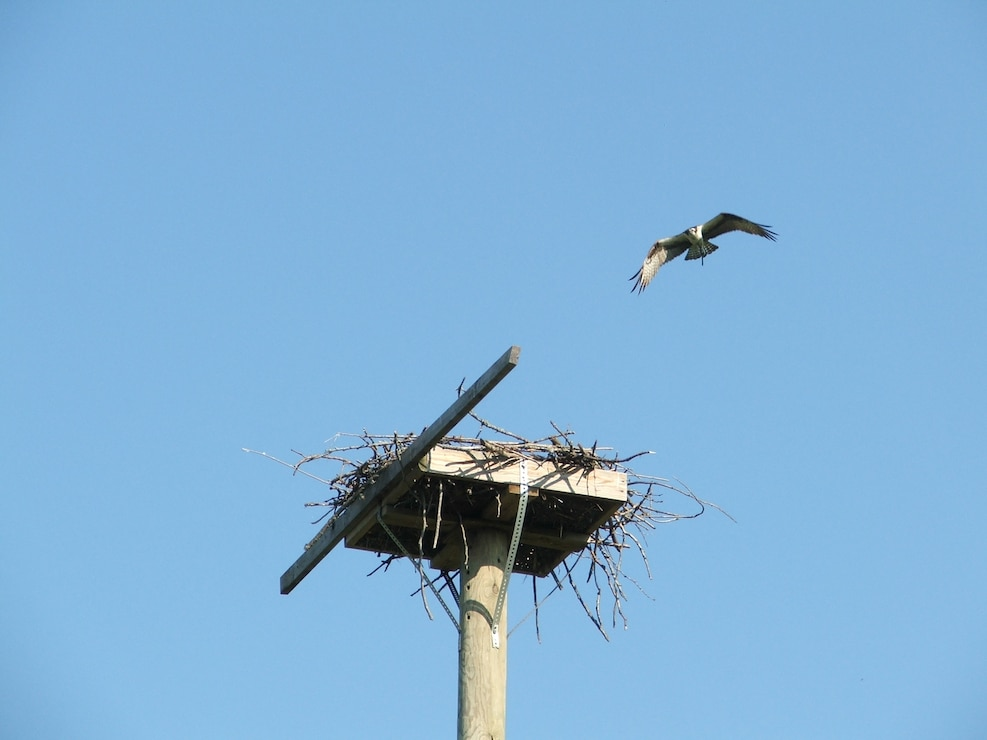 An osprey prepares to land on a nesting platform at Coralville Lake.