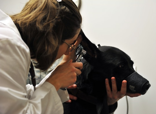 Dr. Joanna Kuecker, U.S. Army Public Health Command District-Carson, exams Avery's ear,  at the Veterinarian Clinic Oct. 19, at Whiteman Air Force Base, Mo. The vet plays an important role in Whiteman's mission when it comes to healthcare of MWD dogs. Avery is assigned to the 509th Security Forces Squadron K-9 unit. (U.S. Air Force photo/Heidi Hunt) (Released)