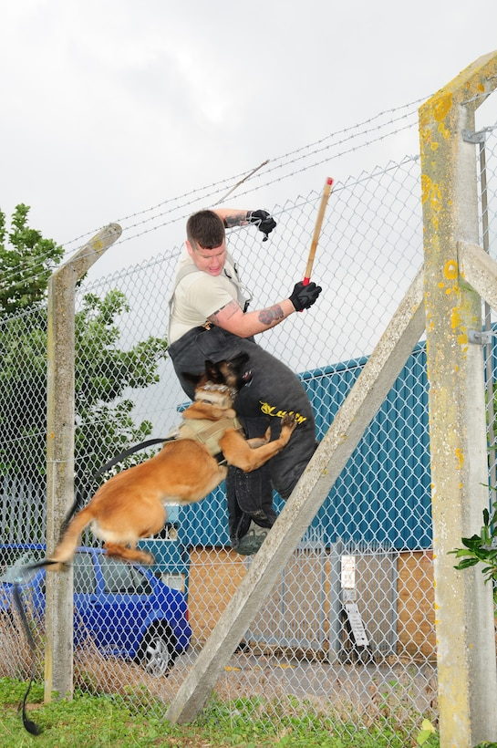 """RAF MILDENHALL, England -- Military Working Dog Vvonya, 100th Security Forces Squadron, takes a flying leap as she gets a firm grip on a """"suspect,"""" played by Staff Sgt. Kaylon Pendleton, 100th SFS MWD handler, as he attempts to make a get-away by climbing a fence at the MWD section Sept. 21, 2012. """"Fence work"""" is a regular part of the training that military working dogs undertake with their handlers to stay current on their capabilities, as MWDs are a vital asset to the security of RAF Mildenhall. (U.S. Air Force photo/Karen Abeyasekere)"""