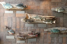 Fifteen common fish species of the Mississippi River now cover the walls of the Mississippi River Visitor Center near Locks and Dam 15. The fish were created by the Benton FFA Chapter in Benton, Penn., for the display.