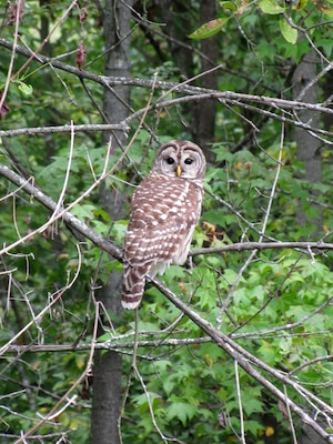 The Barred Owl was observed several times during a threatened and endangered species survey at the Wendell H. Ford Regional Training Center in Kentucky in August 2012.  This owl is a predator of the Long-eared Owl, which is protected.  Habitat management techniques that benefit the Long-eared Owl while discouraging predation from Barred Owls may be developed in future studies. (U.S. Army Corps of Engineers photo by Jesse Helton)