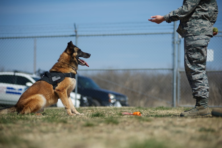 U.S. Air Force 2nd. Lt. Karrissa Garza, 7th Logistics Readiness Squadron, gives a command to military working dog (MWD) Condor March 26, 2013, at the 7th Security Forces Squadron MWD Compound on Dyess Air Force Base Texas. Garza is in the process of adopting Condor upon his retirement from the Air Force and pays frequent visits in order to form a bond with the dog. Condor, an 8 year old belgian malinois, is a veteran of Operation Iraqi Freedom as well as supported the U.S. Secret Service. (U.S. Air Force Photo by Tech. Sgt. Joshua T. Jasper/Released)