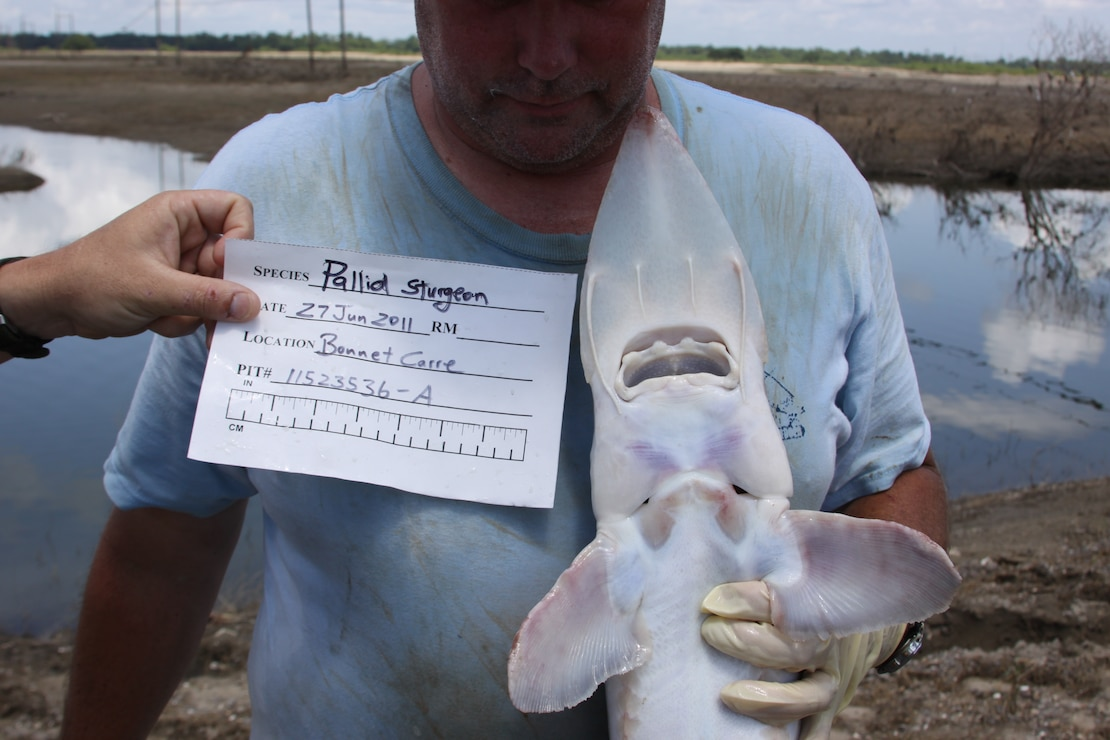 This pallid sturgeon was caught in the Bonnet Carre Spillway on June 27, 2011