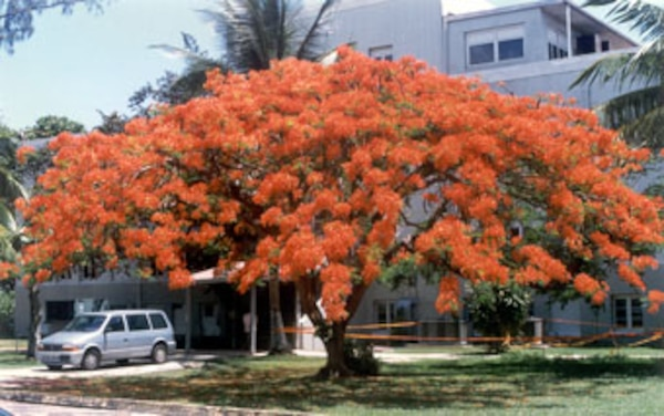 "The ""Flamboyán"" tree, known in English as a Royal Poinciana or Flame Tree, is named for its flamboyant display of orange-red petals. The tree, planted by Corps employees in 1976, still graces the grounds of the Antilles office today."