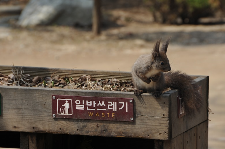 One of the furry Nami Island inhabitants rests on a waste bin before scouring for food during an Information Tickets and Travel trip April 8, 2013. The island has plenty of open grassy areas where squirrels, ostriches, rabbits, peacocks, ducks, and chipmunks roam freely. (U.S. Air Force photo/Senior Airman Kristina Overton)