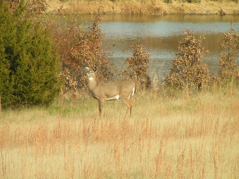 Deer utilize a small pond for a water source.