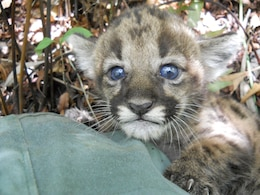 Panther biologists discovered this one-month old kitten, born to a rescued female that had been released into the Picayune Strand Restoration Project area January 31.