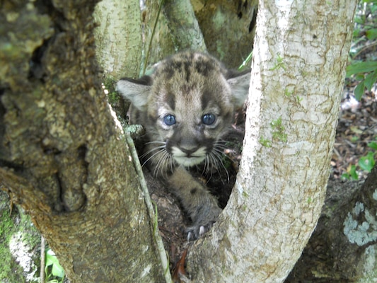 This panther kitten was discovered in the Fakahatchee State Park Preserve, just east of the Picayune Strand Restoration Project area.